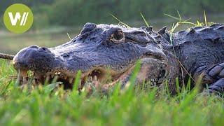 Download Florida: die Alligatoren der Everglades Video