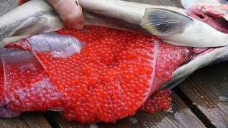 Download Amazing Salmon Eggs Harvest and Artificial Spawning - Awesome Drops Thousands of Fish Into The River Video