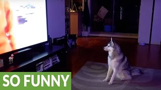 Download Husky tries to join pack of wolves on TV Video