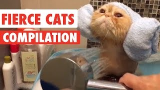 Download Fierce Cats Video Compilation 2016 Video
