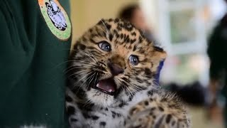 Download Meet Thrigby Hall's adorable new Amur leopard cubs Video