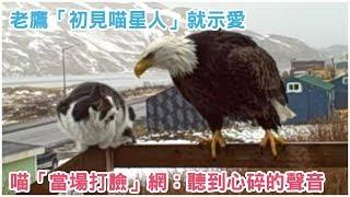 Download 交個朋友嘛~老鷹「初見喵星人」就示愛 喵不領情「當場打臉」網笑:聽到心碎的聲音 Video