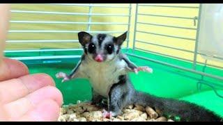 Download アクロバティックでカワイイ威嚇をするフクロモモンガ!Sugar Glider Video