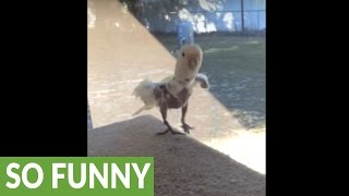 Download Cockatoo sees humans on trampoline, mimics them by jumping! Video