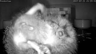 Download Hedgehog Street: little 'hog does a big scratch Video