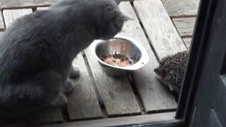 Download Katze und Igel streiten um Futter Video