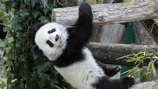 Download Panda-Zwillinge erstmals im Freien Video