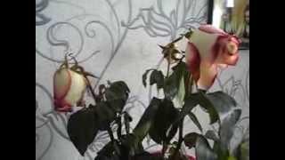 Download как оживить розы в вазе Video