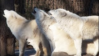Download Howling Wolf - White Arctic Pack of Wolves howling together - Great Scene Video