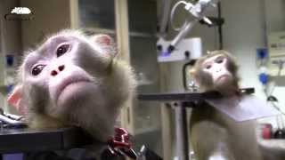 Download Primates in biomedical Research Video