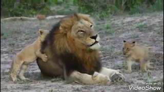 Download Magnificent Southern Matimbas: The most successful duo in the lion world.. Video