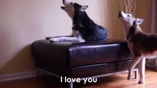 Download 2 TALKING DOGS ARGUE - SUBTITLED! Mishka & Laika Video