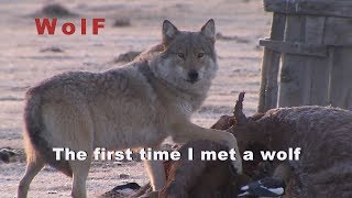 Download Wolf, Asia, Mongolia, The first time I met a Wolf. Video