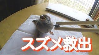 Download 【スズメ】道路に飛べなくなっていたスズメがいたので家に持ち帰って救出した結果 I Helped A Sparrow Video