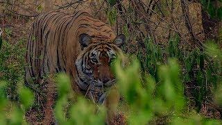 Download Deer Escapes Tiger!   BBC Earth Video