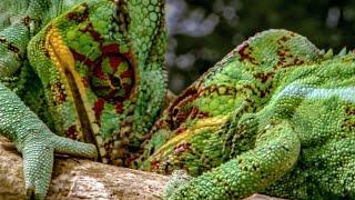 Download Chameleon Fight | Madagascar | BBC Video