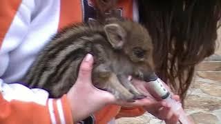 Download Un cinghialetto in casa! • A wild baby boar at home Video