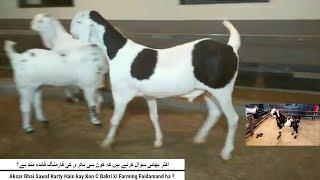 Download 143 | GOAT FARMING | اکثر بھائی سوال کرتے ہیں کہ کون سی بکری کی فارمنگ فائدہ مند ہے؟ Video