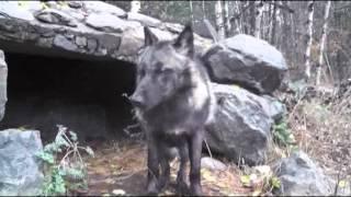 Download International Wolf Center - 20 October 2012 - Luna X-Rays Video
