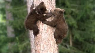 Download Little Brown Bears 2 Video