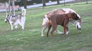 Download Wolfdog at the dog park (watch in HD) Video