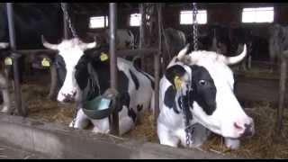 Download Krava otelila 5 teladi Video