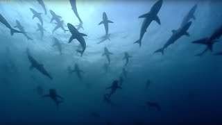 Download Thousands of sharks visit a sea mount | Blue Planet: A Natural History of the Oceans | BBC Video