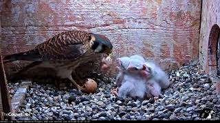 Download Female Kestrel Feeds Unhatched Egg To Chicks – June 21, 2018 Video