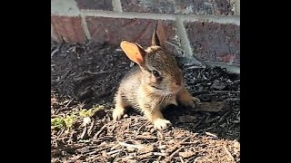 Download Cutest Baby Bunny ever - We found a bunny nest in our yard Video