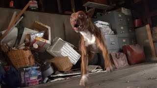 Download Hope For Paws: Pit Bull rescue like you have never seen before! (Eden) Video