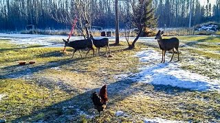 Download Curious Baby Deer Follows Chickens Through Yard Video