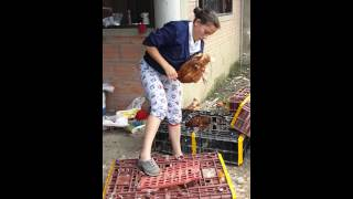 Download Planta procesadora de gallinas criollas Video