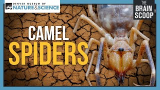 Download Camel Spiders: Neither Camels, nor Spiders Video