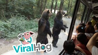 Download Standing Bears Entertain Tourists on Bus || ViralHog Video