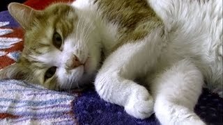 Download お昼寝の前にお話しないと眠れない猫♥♥猫との会話を楽しむ動画 Conversation with a cat Video