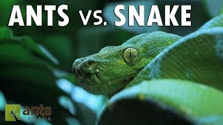 Download ANTS vs. SNAKE Video
