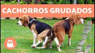 Download Cachorros grudados depois de cruzar - POR QUÊ?! Video