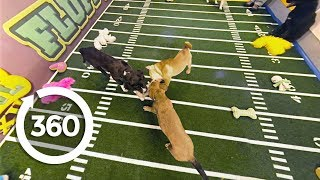 Download Three Puppy Tug of War | Puppy Bowl XII (360 Video) Video
