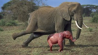 Download Amazing Herd Of Elephant Help Mother Elephant Giving Birth In The Wild Video