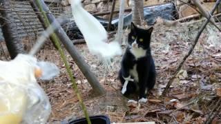 Download [길고양이] 길냥이 턱시도랑 놀아주는 중... Video