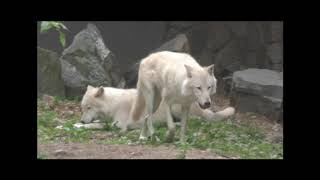 Download International Wolf Center- Enrichments and Stimulated Behaviors - 18 August 2017 Video