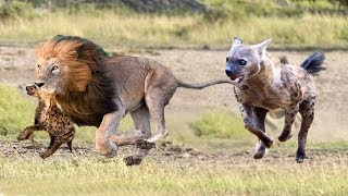 Download Hyenas baby was born in Lion's territory!Lions attack Hyena cubs in front of Hyenas parent Video