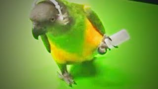 Download Funny Parrots 😅🐦Cute Parrots Doing Funny Things (Part 1) [Funny Pets] Video