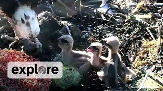 Download Osprey Chicks Pecking Order Video