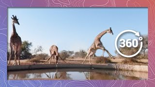 Download Its Hard to Get a Drink Around Here | Giraffe Try to Drink in 360 5K Video