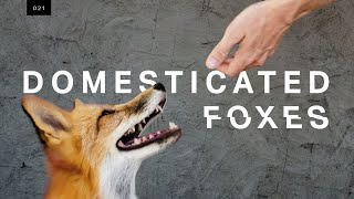 Download We met the world's first domesticated foxes Video