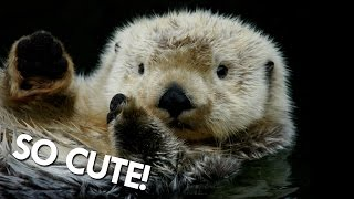 Download Otters Aren't as Cute as You Might Think Video