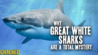 Download Why Great White Sharks Are A Total Mystery Video