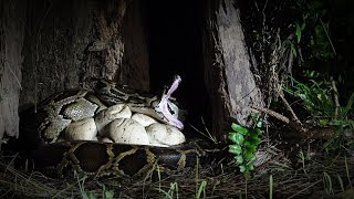 Download Rat Stalks Python Nest 01 Footage Video