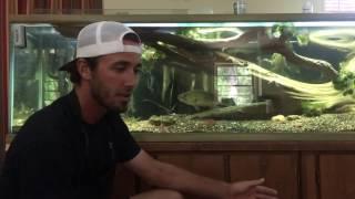 Download Keeping a wild bass in a home aquarium. Video